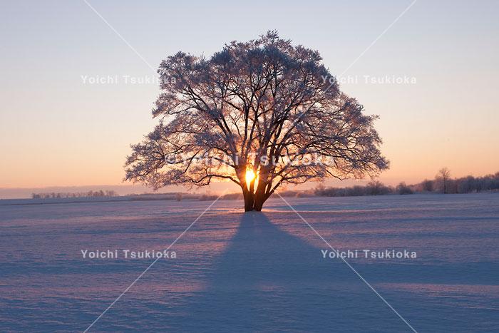 十勝豊頃のハルニレ、日の出を迎える